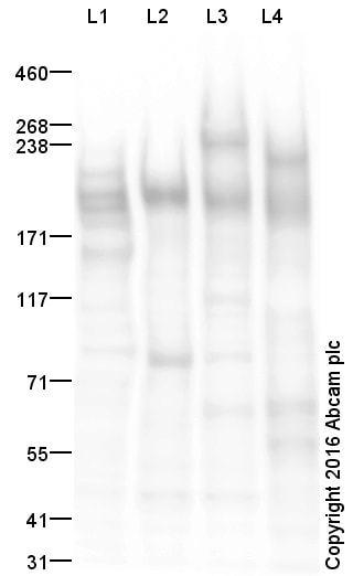 Western blot - Anti-CD45 antibody (ab10558)