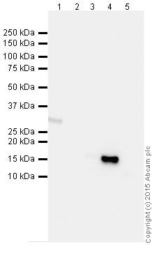 Western blot - Anti-Histone H3 antibody [mAbcam 10799] - ChIP Grade (ab10799)