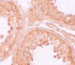 Immunohistochemistry (Formalin/PFA-fixed paraffin-embedded sections) - Anti-NLRP9 antibody (ab105413)