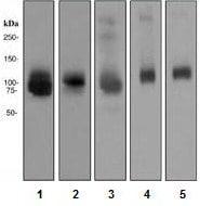 Western blot - Anti-ATG9A antibody [EPR2450(2)] (ab108338)