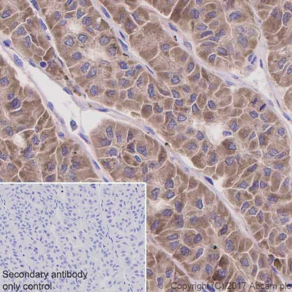 Immunohistochemistry (Formalin/PFA-fixed paraffin-embedded sections) - Anti-ATG9A antibody [EPR2450(2)] (ab108338)
