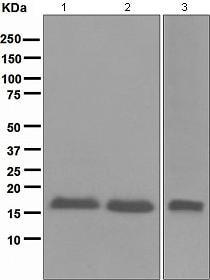 Western blot - Anti-CDKN2A/p16INK4a antibody [EPR1473] - C-terminal (ab108349)