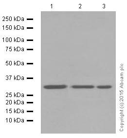 Western blot - Anti-Cdk4 antibody [EPR4513-32-7] (ab108357)