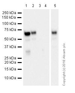 Western blot - Anti-Estrogen Receptor alpha antibody [EPR4097] - ChIP Grade (ab108398)
