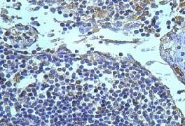 Immunohistochemistry (Formalin/PFA-fixed paraffin-embedded sections) - Anti-Iba1 antibody (ab108539)
