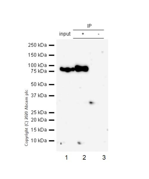 Immunoprecipitation - Anti-ICAM1 antibody [EPR4776] (ab109361)