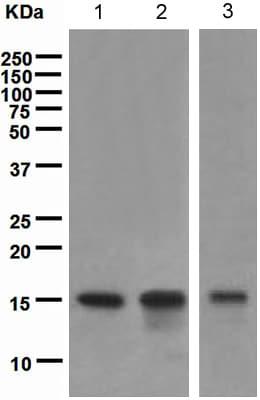 Western blot - Anti-TWEAKR/FN14 antibody [EPR3179] (ab109365)