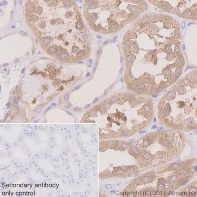 Immunohistochemistry (Formalin/PFA-fixed paraffin-embedded sections) - Anti-Acetyl Coenzyme A Carboxylase antibody [EPR4971] (ab109368)