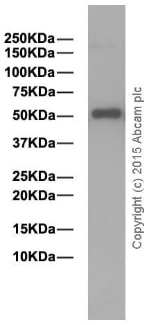 Western blot - Anti-Human IgG antibody [EPR4421] (ab109489)