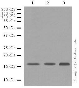 Western blot - Anti-PBR antibody [EPR5384] (ab109497)