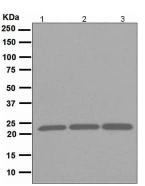 Western blot - Anti-Peroxiredoxin 1/PAG antibody [EPR5433] (ab109498)
