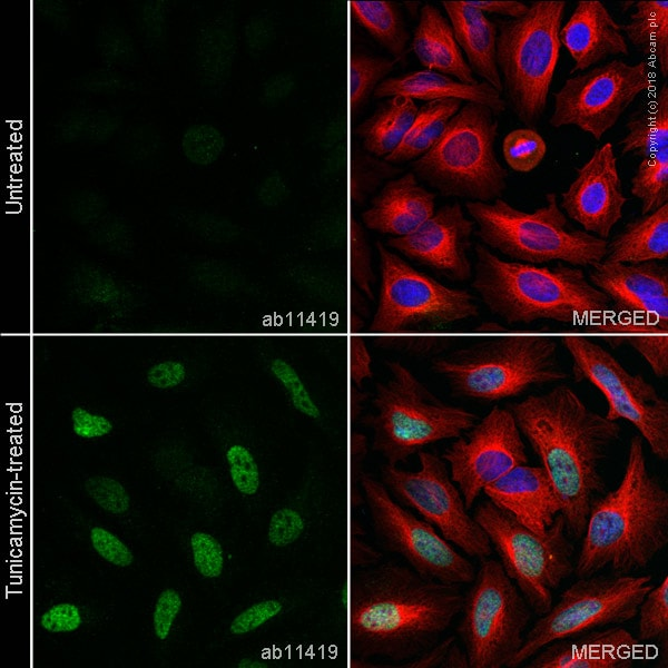 Immunocytochemistry/ Immunofluorescence - Anti-DDIT3 antibody [9C8] (ab11419)