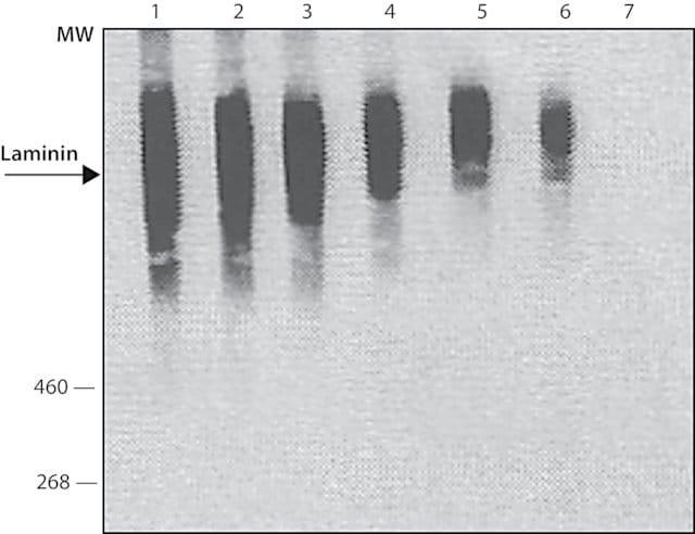 Dot Blot - Anti-Laminin antibody (ab11575)