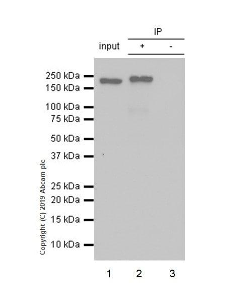 Immunoprecipitation - Anti-BRG1 antibody [EPNCIR111A] (ab110641)