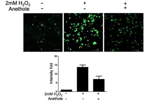 Effect of anethole on excessive ROS generation in hMSCs.