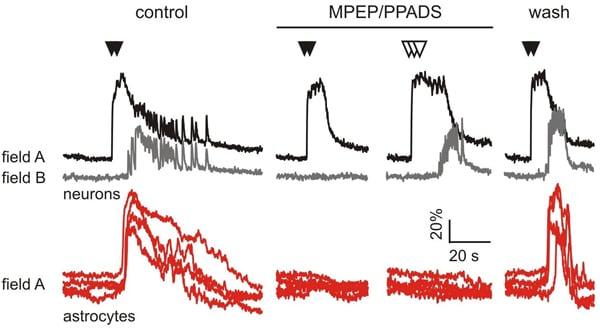 Functional Studies - MPEP hydrochloride, mGlu<sub>5</sub> antagonist (ab120008)