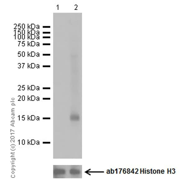 Western blot - Ionomycin Ca2+ Salt, Ca<sup>2+</sup> ionophore (ab120116)