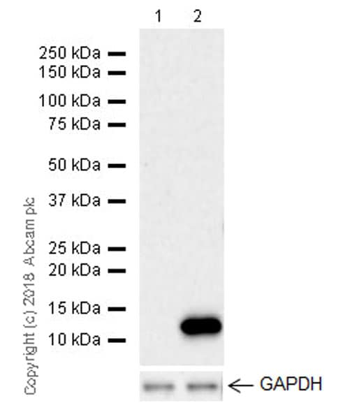 Western blot - Phorbol 12-myristate 13-acetate (PMA), PKC activator (ab120297)