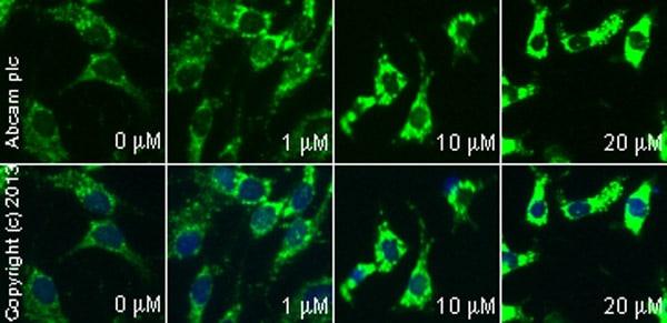 Functional Studies - Fluvastatin sodium salt, HMG-CoA reductase inhibitor (ab120651)
