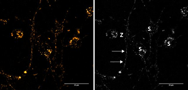 Fluorescent Cell Imaging - FFN102 (Mini 102), Fluorescent DAT and VMAT2 substrate (ab120866)