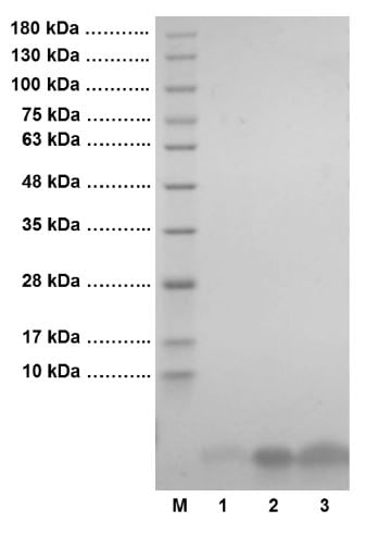 SDS-PAGE - Recombinant human Insulin protein (Active) (ab123768)