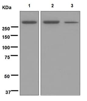 Western blot - Anti-M6PR (cation independent) antibody [EPR6599] (ab124767)