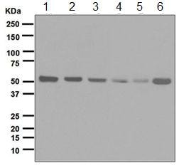 Western blot - Anti-Retinoid X Receptor alpha/RXRA antibody [EPR7106] (ab125001)