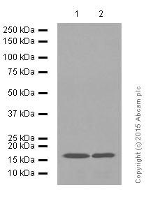Western blot - Anti-Glutathione Peroxidase 4 antibody [EPNCIR144] (ab125066)
