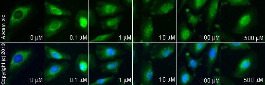 Immunocytochemistry/ Immunofluorescence - Anti-Hsc70 antibody (ab125307)