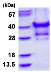 SDS-PAGE - Recombinant Human PP1C gamma protein (ab126675)
