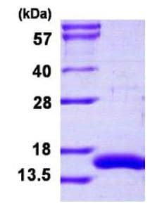 SDS-PAGE - Recombinant Human CRIPT protein (ab126677)