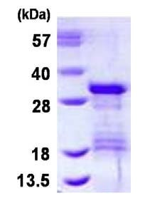 SDS-PAGE - Recombinant Human VTI1B protein (ab126685)