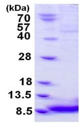 SDS-PAGE - Recombinant Mouse EGF protein (ab126695)