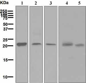 Western blot - Anti-HN1 antibody [EPR7364] (ab126705)