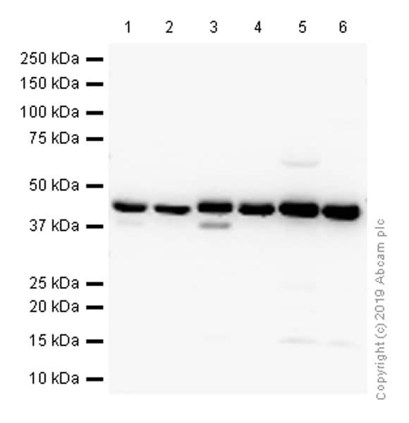 Western blot - Anti-HLA-C antibody [EPR6749] (ab126722)