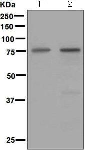 Western blot - Anti-Netrin 1 antibody [EPR5428] (ab126729)