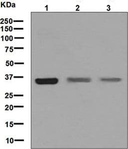 Western blot - Anti-DMRT1 antibody [EPR6936] (ab126741)