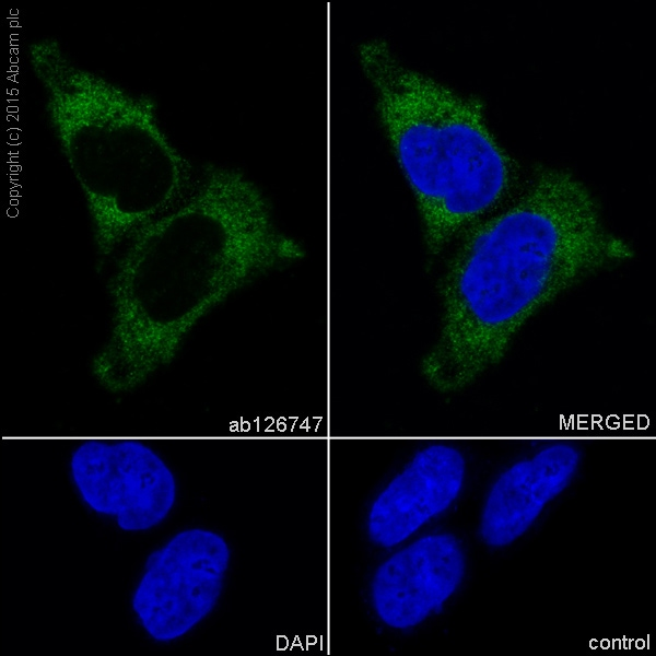 Immunocytochemistry/ Immunofluorescence - Anti-GPCR LGR6 antibody [EPR6874] (ab126747)