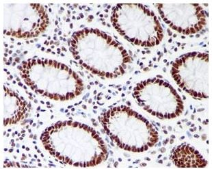 Immunohistochemistry (Formalin/PFA-fixed paraffin-embedded sections) - Anti-RRP42 antibody [EPR7452] (ab126750)