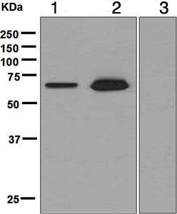 Western blot - Anti-FOXO4/AFX antibody [EPR2150(3)] (ab126757)