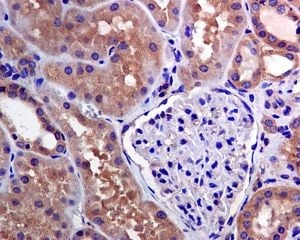 Immunohistochemistry (Formalin/PFA-fixed paraffin-embedded sections) - Anti-TRAF2 antibody [EPR6048] (ab126758)