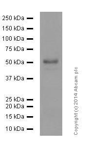 Western blot - Anti-TRAF2 antibody [EPR6048] (ab126758)