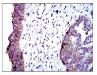 Immunohistochemistry (Formalin/PFA-fixed paraffin-embedded sections) - Anti-Alkaline Phosphatase, Tissue Non-Specific antibody [2F4] (ab126820)