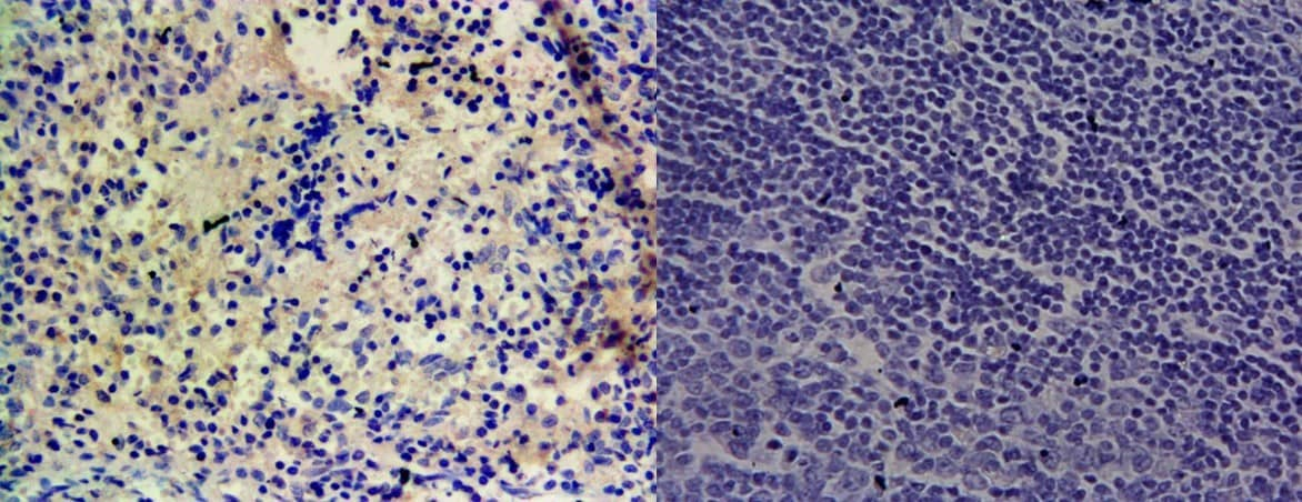 Immunohistochemistry (Formalin/PFA-fixed paraffin-embedded sections) - Anti-CYP1A1 antibody (ab126887)