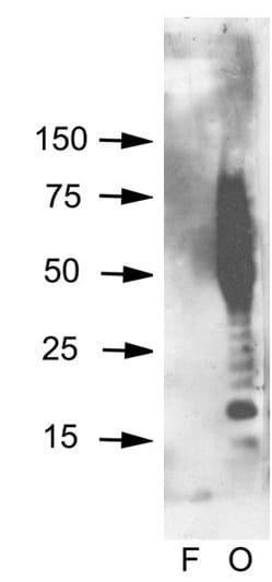 Western blot - Anti-Amyloid Oligomers antibody (ab126892)