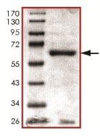 SDS-PAGE - Recombinant Human Cdk7 protein (ab126920)