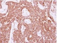 Immunohistochemistry (Formalin/PFA-fixed paraffin-embedded sections) - Anti-DIPP antibody (ab126962)