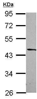 Western blot - Anti-DRG2 antibody (ab127170)