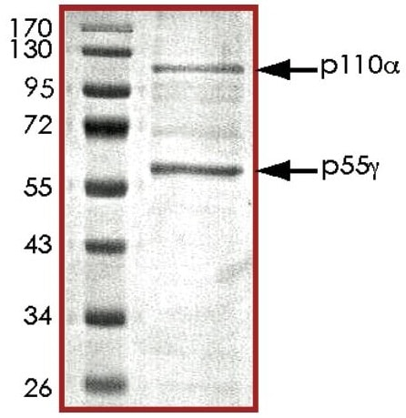 SDS-PAGE - Recombinant human PI3K(p110alpha/p55gamma) protein (ab127617)