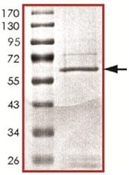 SDS-PAGE - Recombinant Human Bub1 protein (ab127642)